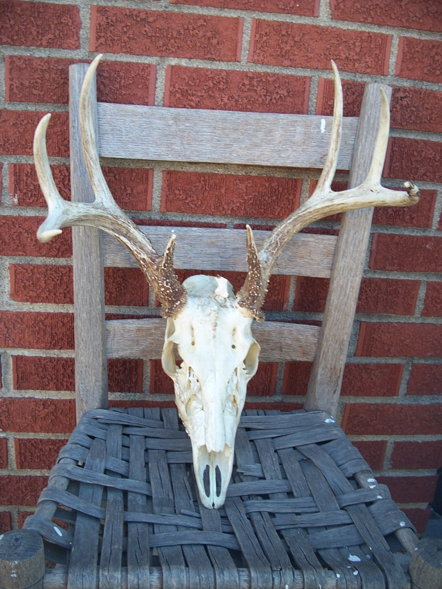 Rustic Buck Deer Skull and Antlers with 3rd Starting Antler