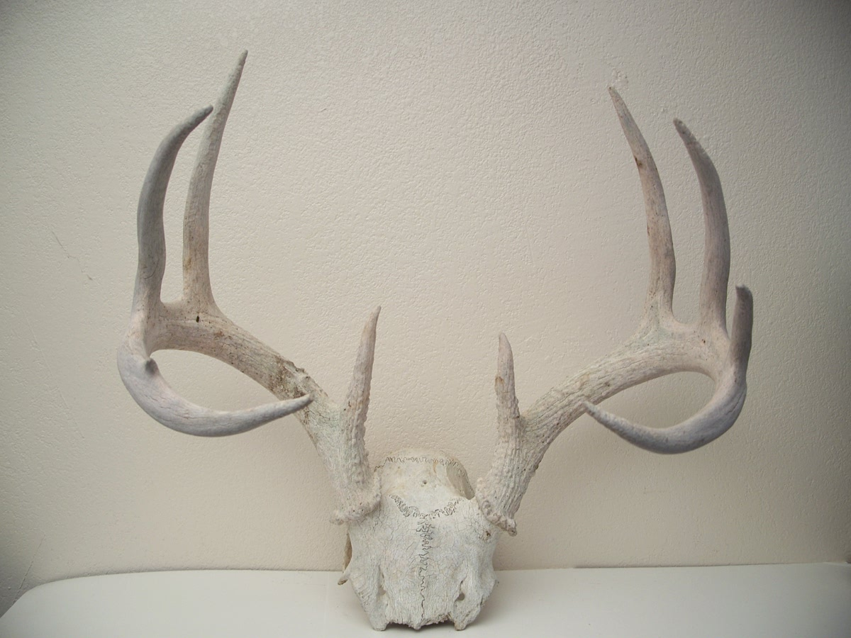 Rustic Deer Partial Skull and Antlers 10 points